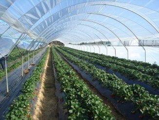 Se está recogiendo unos 200 gramos por planta y el precio aproximado es de 1,62 euros/kg