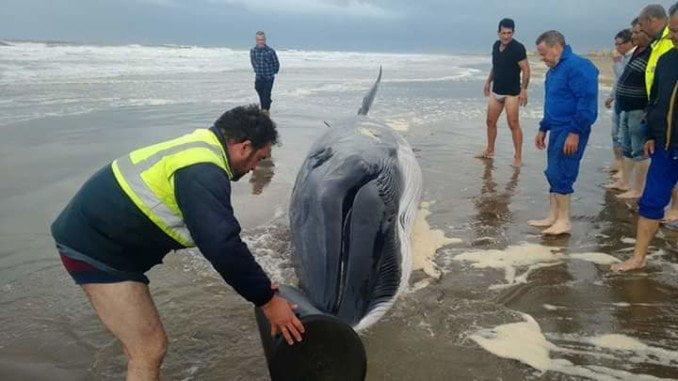 La ballena de Ayamonte  fue atendida por voluntarios que intentaron salvarla