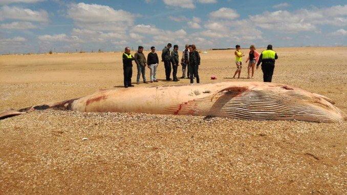 El balenato apareció muerto en El Espigó, tras hacer hecho varios intentos de volver al mar en Ayamonte