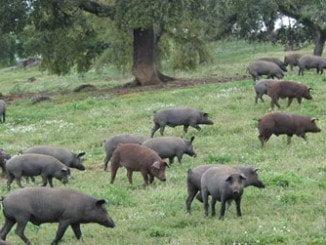 La feria exhibe la oferta agroalimentaria del sector porcino del Andévalo occidental