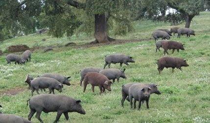 Se busca el apoyo científico en bienestar animal y la promoción del Banco de Datos del Porcino Español