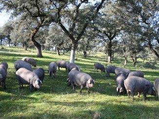Huelva encabeza la lista andaluza de producción de ibérico puro de bellota