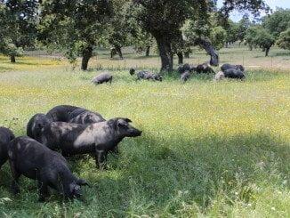 Imagen de la dehesa andaluza
