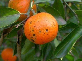 La mancha marrón afecta a la comercialización del fruto