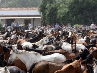 Un año más, y tras numerosos avatares, Almonte celebra la Saca de las Yeguas y su Feria de Ganado