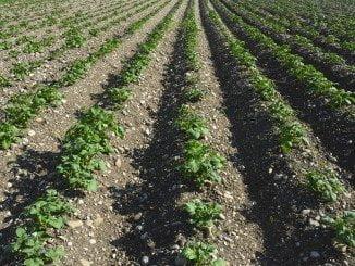 Cultivos herbáceos de los que se hablará en estas jornadas
