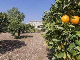 En total se han recuperado 800 Kg de naranjas que han sido donados a un centro de beneficencia