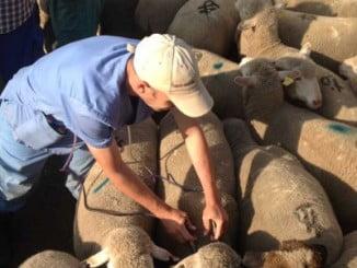 En la imagen, realizando tareas con el ganado