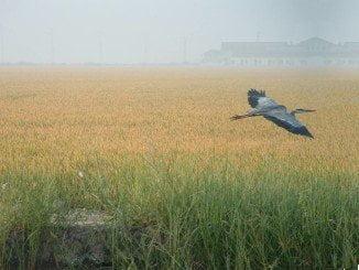 Habrá ayudas pra los sistemas agrarios de especial interés para las poblaciones de aves de los arrozales andaluces