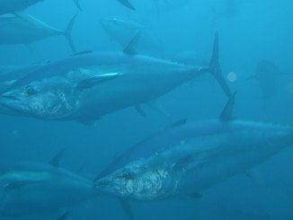 La cuota de capturas de atún rojo reservadas a embarcaciones de recreo y deportivas ya se ha alcanzado