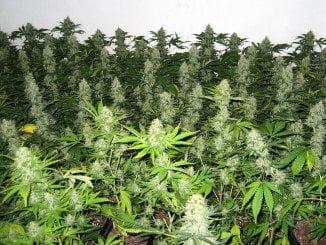 En uno de los invernaderos, los agentes encontraron multitud de plantas de marihuana