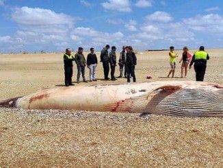 Uno de los cetáceos muertos encontrado en la Playa de Ayamonte