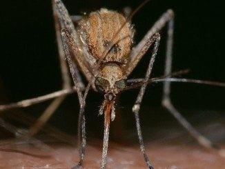 La enfermedad es causada por un virus transmitido, sobre todo, por mosquitos del género Aedes