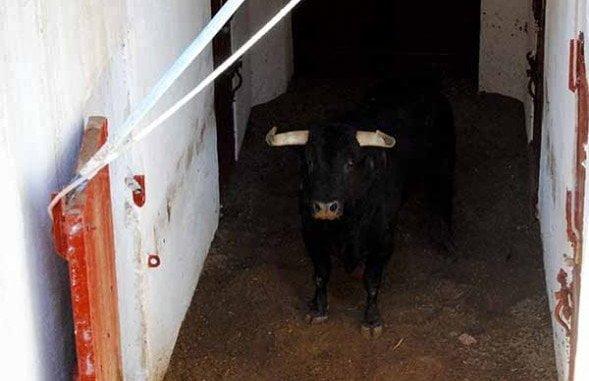 Ladrón, el toro de Domecq, en los chiqueros de La Merced