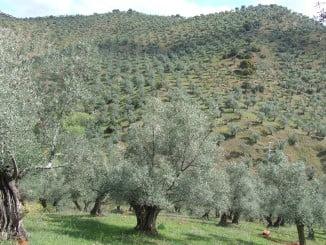 El olivo es el cultivo más perjudicado con esta bacteria
