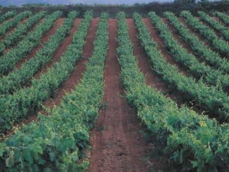 En Andalucía son 26 nuevas plantaciones de viñedo las que ha autorizado la Junta