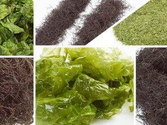 """Un muestra de las algas que se cultivan en  """"La Huerta Marina"""", en Cartaya"""
