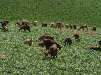 UPA cree que la ganadería extensiva es la mejor prevención antiincendios