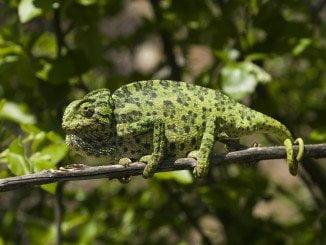 El camaleón es la especie protegida más conocida de la zona