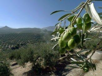 También entre el olivar la superficie asegurada  ha aumentado