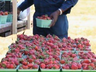 Los beneficios de la IGP de la fresa han sido estudiados hoy en una reunión en Asaja