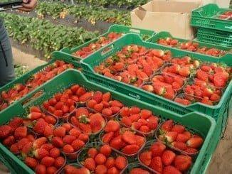 Los productores de fresa en Huelva han asegurado que priorizarán la mano de obra local esta campaña, si bien están solicitando ampliar el cupo de contratación en origen