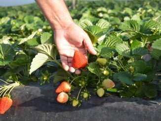 Grufesa logra ahorrar más agua y sigue en su empeño de hacer una fresa más natural