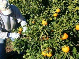 Los demandantes de empleo deben especificar el cultivo en el que tienen experiencia