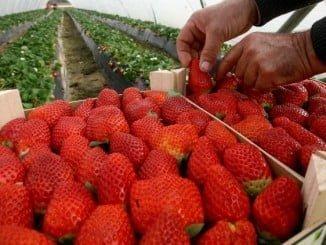 Las fresas hacen que Huelva sea la provincia que lidere el ranking de las exportaciones hortofrutícolas al Reino Unido