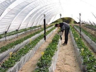 La empresa aplica al campo de los frutos rojos tecnología puntera