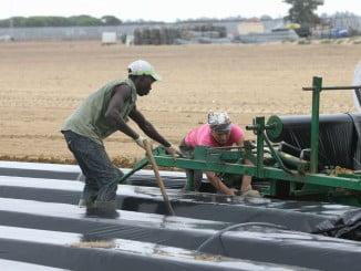 El cultivo de la fresa demanda un número muy elevado de empleados en periodos muy determinados del año