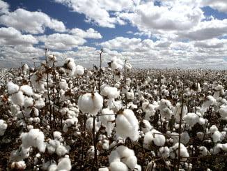 La cantidad total de algodón que se espera recoger en Huelva supone un aumento del 43%