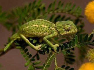 La destrucción de los hábitats de esta especie y de sus lugares de reproducción es muy habitual