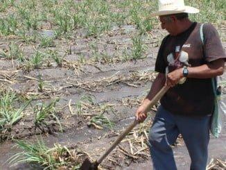 El agua va a venir muy bien para las variedades más tardías que aún quedan por recolectar