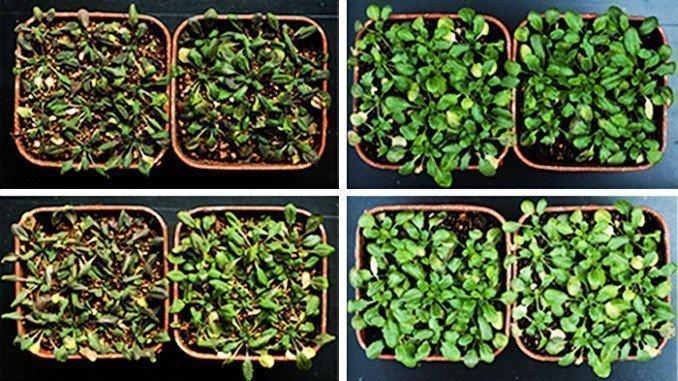 Las plantas modificadas para sobreexpresar las proteínas RGLG1 y RGLG5 (derecha) han resistido mejor las condiciones de sequía que las no modificadas (izquierda)