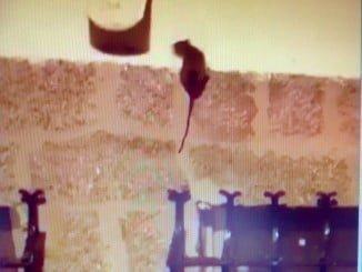 Imagen de un vídeo difundido por el PP de una rata merodeando por el Vázquez Díaz