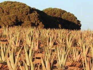 Plantación de Aloe Vera de Coalve, uno de los participantes de las jornadas