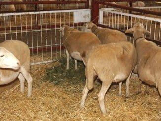 Con esta normativa se pretende evitar la transmisión de enfermedades como la fiebre aftosa durante el transporte animal