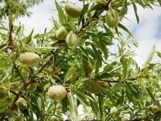 Las posibilidades del cultivo del almendro en Huelva, objeto de estudio en Trigueros