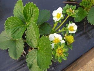 Las primeras flores de las que en unos días serán las primeras fresas de esta temporada en Grufesa