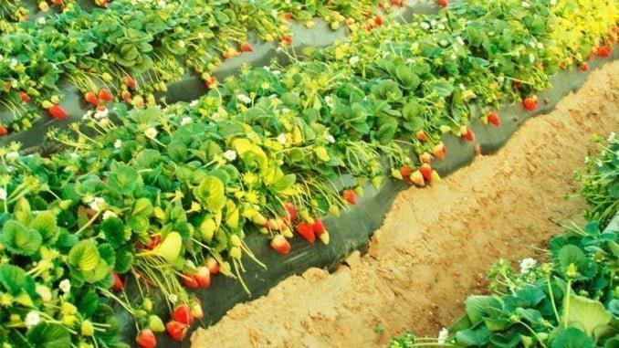 La fresa reduce su área de plantación en favor de otros berries