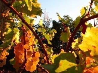 Asaja Huelva informa sobre la resolución para autorizaciones de nuevas plantaciones de viñedo a nivel nacional