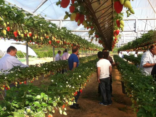 Cultivo de fresa en invernadero
