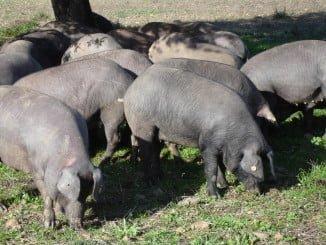 Los precios del porcino subieron durante septiembre