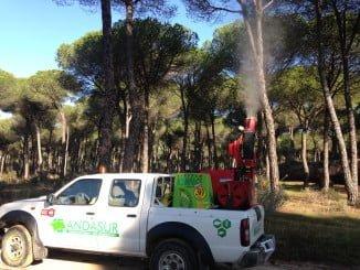 Tratamiento contra la procesionaria en los pinos de Almonte