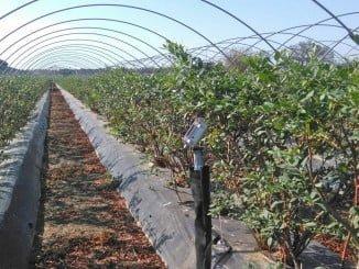 Plantación de arándanos con regadío monitorizado