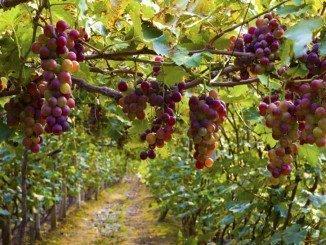 El Gobierno actualiza la norma de aplicación del Programa de Apoyo al sector vitivinícola para el periodo 2014-2018