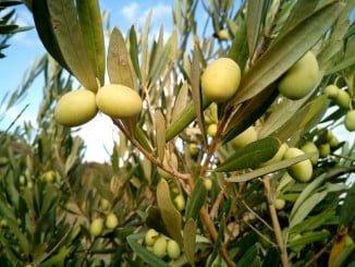 El retraso en la producción de aceite de oliva se ha debido a la demora en el inicio de la recolección