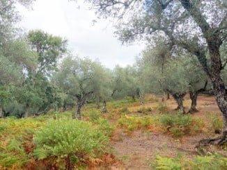 Huelva apuesta por la excelencia con el olivar ecológico; menos cantidad y más calidad