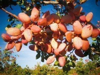 Huelva ocupa el 1,7% de la superficie total de pistacho ecológico de Andalucía